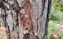Điều tra vụ hàng trăm cây thông ở Lâm Đồng bị khoan lỗ, đổ thuốc trừ sâu