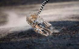 Màn săn mồi nghẹt thở của báo giữa đồng cỏ cháy, đất đen, bụi bặm mịt mù