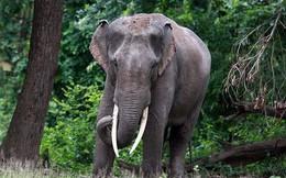 Tại sao voi châu Á có đôi tai nhỏ hơn voi châu Phi?