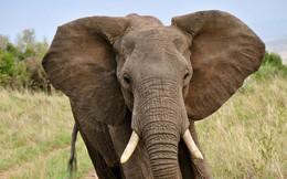 Vì sao một số loài động vật có sừng hoặc ngà, còn số khác lại không?
