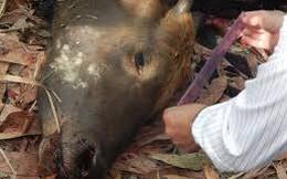 Đồng Nai: Một cá thể bò tót nặng khoảng 700kg chết giữa rừng