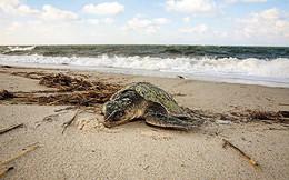 Bất thường: Hàng trăm con rùa chết cứng dạt vào bờ biển Mỹ