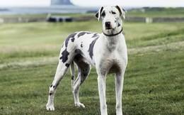 Nguồn gốc của giống chó cao nhất thế giới