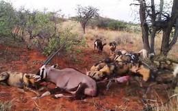 Clip: Đàn chó hoang hợp sức xé xác linh dương sừng kiếm