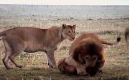 Mắc sai lầm chết người, linh cẩu bị cả đàn sư tử hợp sức tấn công