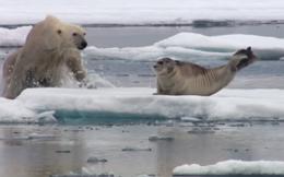 Thế giới động vật: Chậm mà chuẩn, gấu trắng hạ con mồi trong chớp mắt