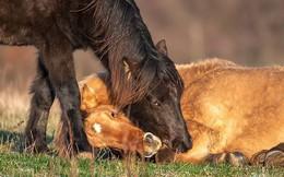 Hành động khiến ai cũng cảm động của đàn ngựa hoang với đồng loại bị nạn