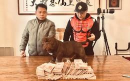 Người đàn ông Việt mang 2,6 tỷ đồng sang Trung Quốc mua chó Bully