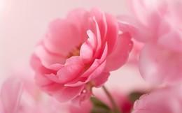 Hiệu ứng kỳ diệu của hoa hồng