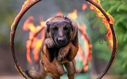 Độc đáo công tác huấn luyện chó quân sự