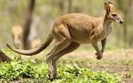 """Đi săn kangaroo, nam thanh niên bị con mồi """"trả đũa"""" đau đớn"""