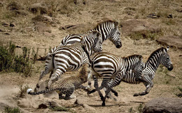 24h qua ảnh: Báo gấm đi săn bị dính đòn đá hậu của ngựa vằn