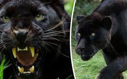 Bom tấn Black Panther sắp công phá màn ảnh, nhưng bạn biết gì về loài thú bí ẩn này ngoài tự nhiên?
