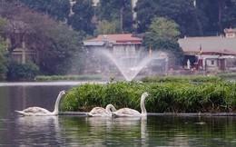 Thiên nga được bảo vệ ra sao ở hồ Thiền Quang dịp Tết?