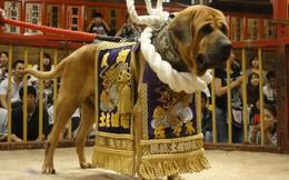 Đây là giống duy nhất tại Nhật Bản được ví như chiến binh sumo của thế giới loài chó