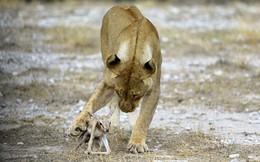 24h qua ảnh: Sư tử cái chăm sóc linh dương sơ sinh như con đẻ