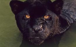 Có thể bạn chưa biết: Báo đen không phải một loài báo!
