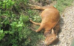 Thấy bò lăn ra chết, người dân xẻ thịt chia nhau mang về ăn và điều tồi tệ đã xảy ra