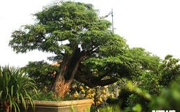Mục sở thị cây me 130 tuổi, trả giá 3,2 tỷ đồng không bán ở Sài Gòn