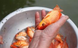 Lãi đậm nhờ kinh doanh cá chép đỏ cho ngày ông Công, ông Táo