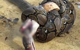 Hổ mang cực độc và trăn khổng lồ tử chiến