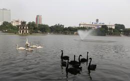 Dùng lưới bắt lại 12 con thiên nga ở Hồ Gươm chuyển đi nơi khác