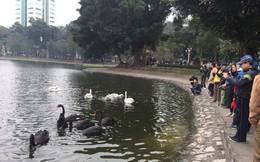 Đóng cọc, quây lưới để chống trộm thiên nga ở giữa hồ Thiền Quang