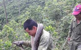 Phát cây bắt được trăn dài 2 mét