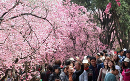Rực rỡ hoa anh đào bắt đầu nở rộ khắp nơi trên thế giới