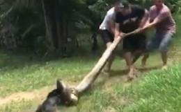 [Video] Dân làng hợp sức giải cứu chú chó bị con trăn siết chặt