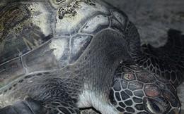 Rùa biển quý hiếm nặng 10kg mắc lưới lão ngư 72 tuổi