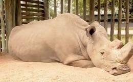 Chú tê giác trắng đực Bắc Phi cuối cùng trên thế giới qua đời - niềm hy vọng mong manh cuối cùng bị dập tắt
