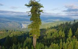Đây là cái cây cao nhất thế giới, và là niềm tự hào của cả nước Mỹ
