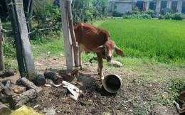 Phó chủ tịch xã phủ nhận việc 'cán bộ xã và người thân nhận bò hỗ trợ rồi bán cho lò mổ'