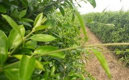 Thế giới công nhận một loại cây ở Việt Nam có nhiều hoạt chất chữa tiểu đường hiệu quả