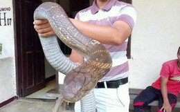 24h qua ảnh: Sốc với hổ mang chúa khổng lồ chưa từng thấy ở Indonesia