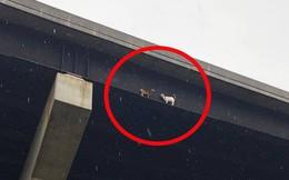 Hình ảnh 2 con dê đứng bất động trên cầu suốt 18 tiếng thu hút sự chú ý