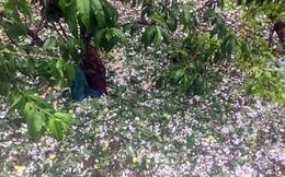 Hai trận mưa đá liên tiếp làm mận rụng đầy gốc ở Sơn La