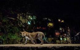 """Dã thú đáng sợ """"ẩn dật"""" nơi đô thị qua trải nghiệm của phóng viên National Geographic"""