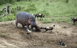 24h qua ảnh: Hà mã đại chiến bầy chó hoang để giành thức ăn