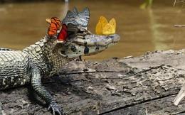 Bức ảnh cá sấu thần thái khiến người ta cứ nghĩ là photoshop nhưng sự thật thì còn bất ngờ hơn thế