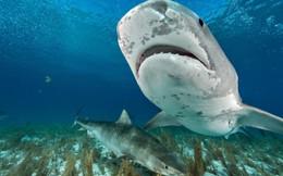 Bơi cùng cá mập hổ: Vuốt ve lần đầu rồi bất ngờ hoảng loạn!