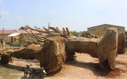 """3 cây khủng như """"quái thú"""" bị giữ ở Huế: Chưa thể khẳng định là cây đa"""