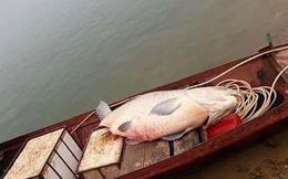 Yên Bái: Ngư dân bắt được cá trắm khổng lồ nặng 61kg ở hồ Thác Bạc