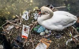 Hình ảnh gây sốc: Thiên nga đẻ trứng trong chiếc ổ làm bằng rác ở Copenhagen, Đan Mạch