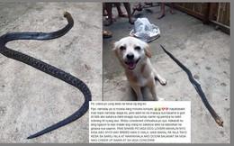 Cảm động chuyện chó nhỏ cắn rắn hổ mang cứu chủ thoát khỏi hiểm nguy