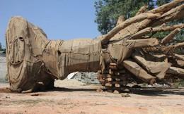Ông chủ doanh nghiệp tiết lộ chở cây khủng cho một ngôi chùa ở khu Linh Đàm