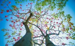 Sài Gòn dễ thương với mùa hoa kèn hồng tháng 4