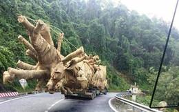 Làm rõ phản ánh xe chở cây 'khủng' có dấu hiệu vi phạm pháp luật