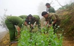 Trồng 350 cây anh túc trong vườn nhà để làm thuốc